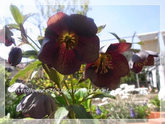 庭の花20140401002