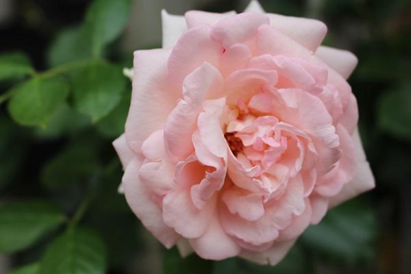 2014.06.25 トリミングデー+最後の薔薇-8
