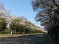 20140408totigisakura2.jpg