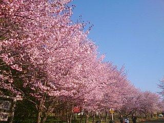 農業試験場~入口からの桜並木