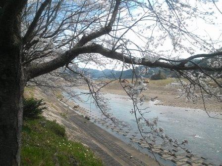 桜が咲いて2