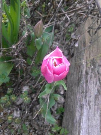 桜が咲いて7