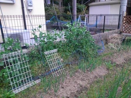 菜園夏野菜準備1