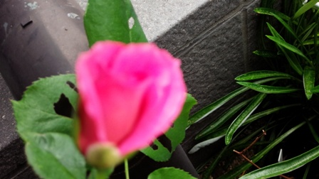 菜園の様子・・・バラも12