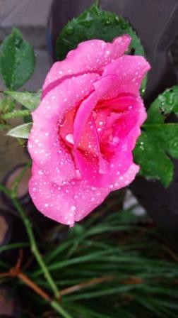 菜園の様子・・・バラも20