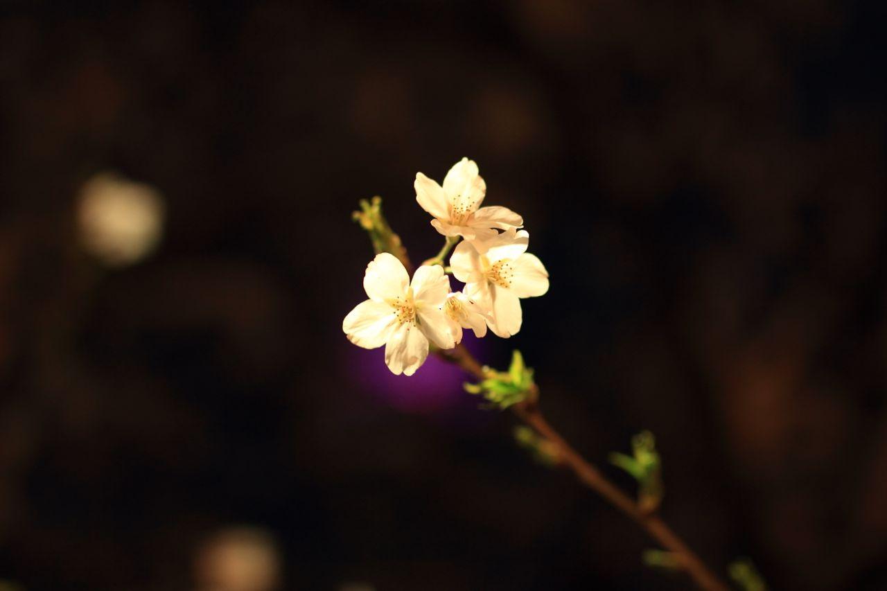140405sakuraphoto09.jpg