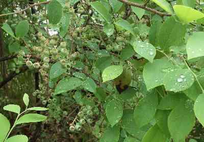 DSCF1895雨の日の幼ブル0ベリー