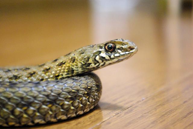 モンペリエヘビ
