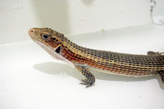 ニシオニプレートトカゲ