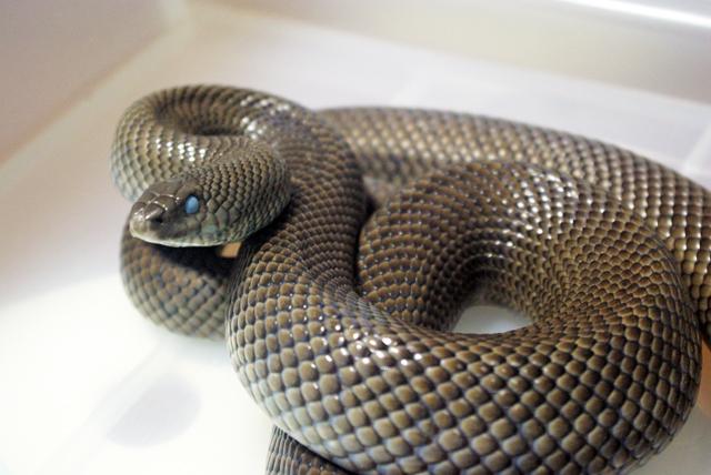モグラヘビ