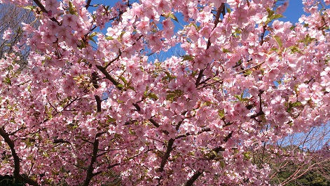 赤塚山入り口 桜