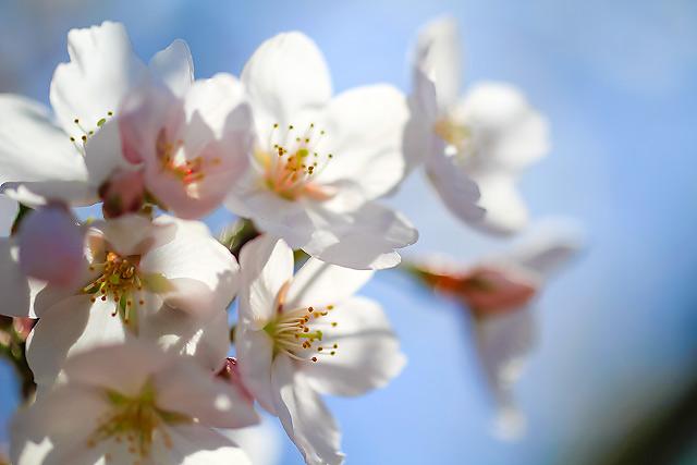 米子 鴨川 桜並木 花見
