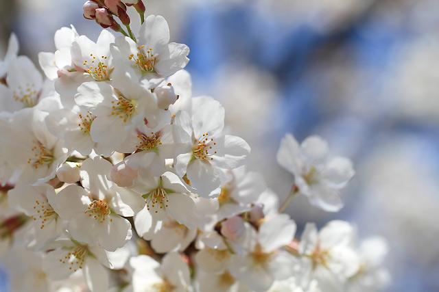 米子市 湊山公園 桜 花見
