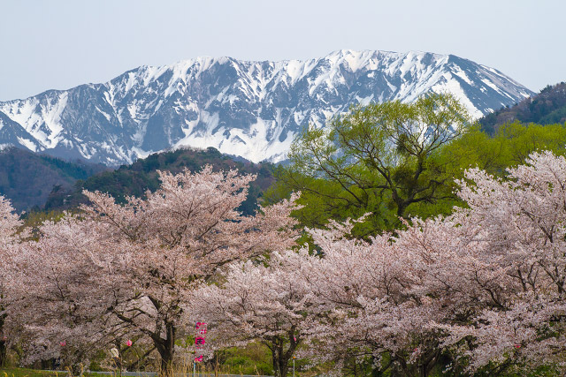 大山町 豊房 桜