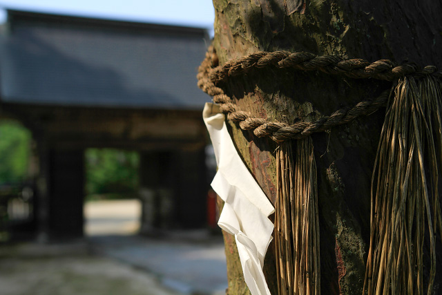 鳥取県米子市尾高 大神山神社 紫陽花 あじさい 写真撮影