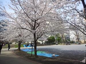 阪本公園のさくら