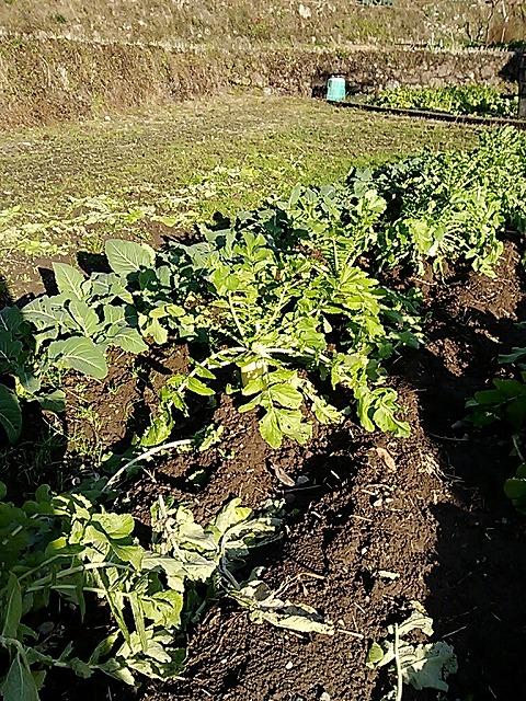 家庭菜園08