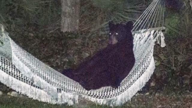 dnt-bear-in-a-hammock8e56e8iei6ie555e6ke6e.jpg