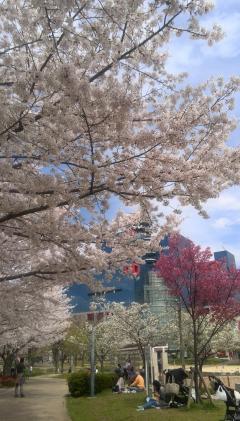 2014年扇町公園の桜_convert_20140402135144