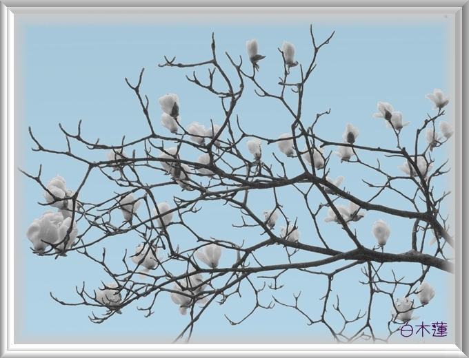 ○1シルバー2重枠細い白木蓮バック灰色