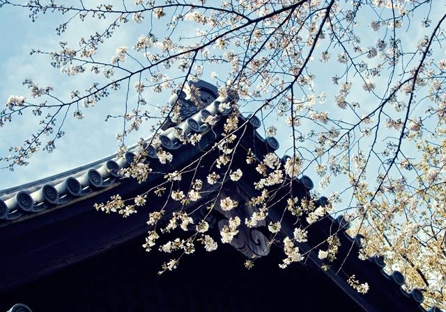 640桜と空と屋根瓦
