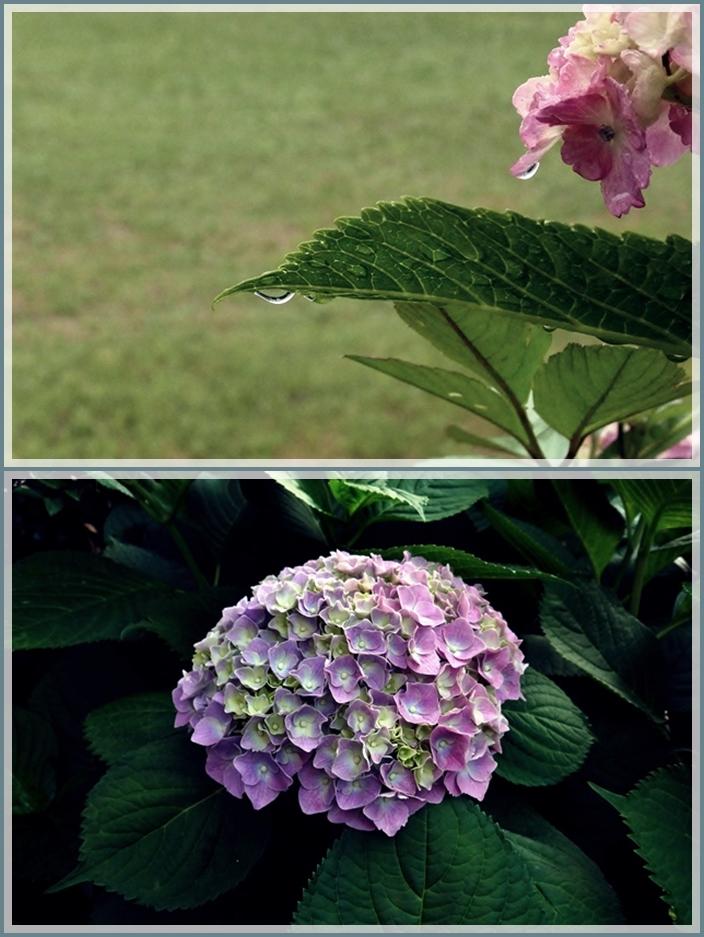 紫陽花22