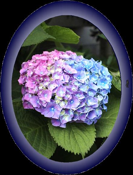 440○12紫陽花1