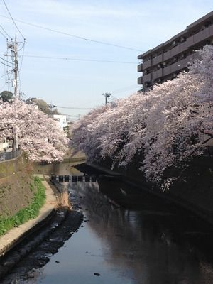 IMG_2276川桜