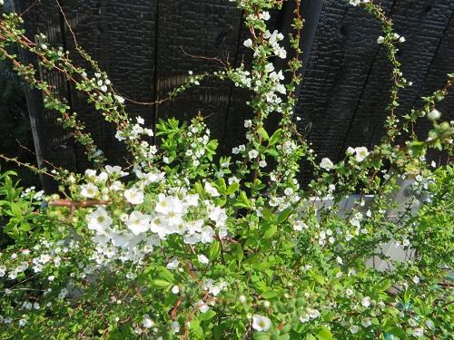 白咲き誇る