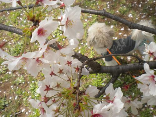 4月2日・桜とラスク①