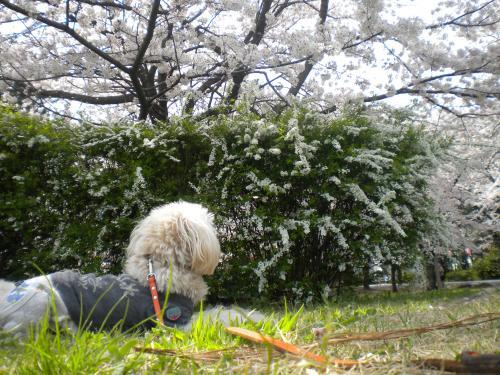 4月2日・桜とラスク④