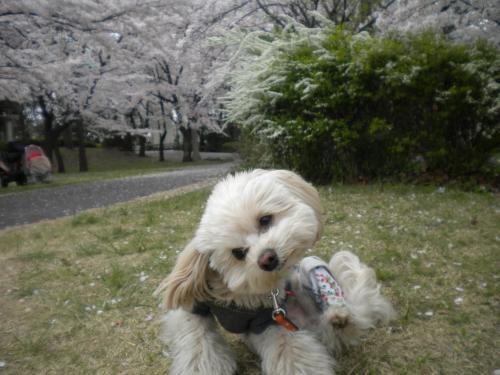 4月2日・桜とラスク⑤