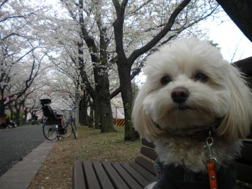 4月2日・桜とラスク⑥
