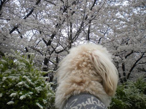 4月2日・桜とラスク⑦