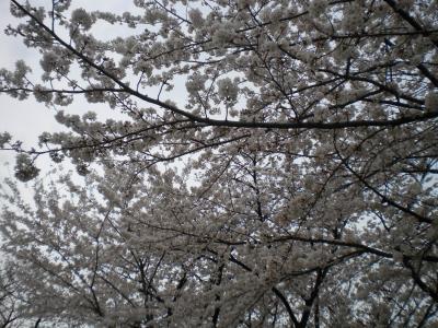 4月2日・辰巳公園の桜