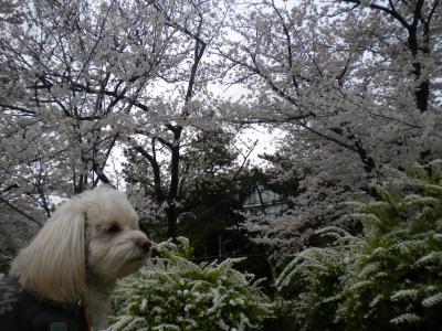 4月2日・桜とラスク(3日up分)②