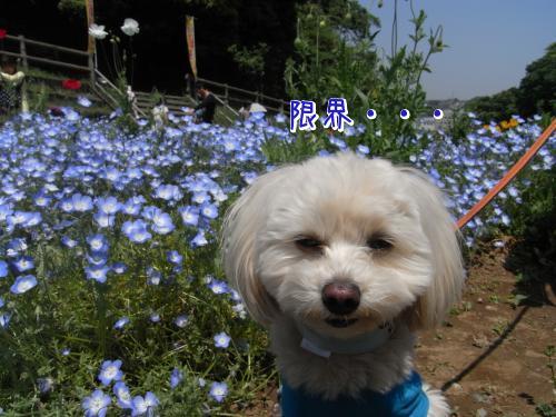 5月4日・くりはま花の国・ネモフィラとらっくん