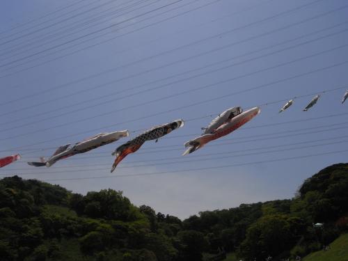 5月4日・くりはま花の国・鯉のぼり