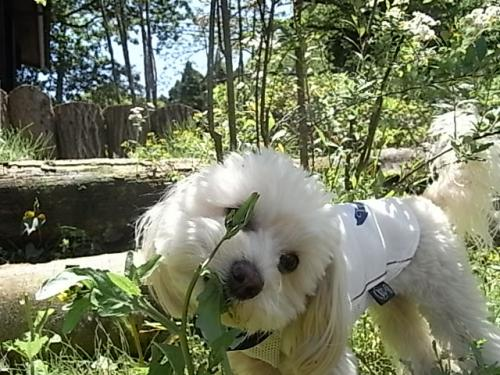 Labullsドッグガーデン・草をムシャムシャらっくん