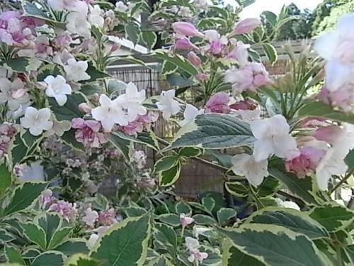 Labullsピンクのお花