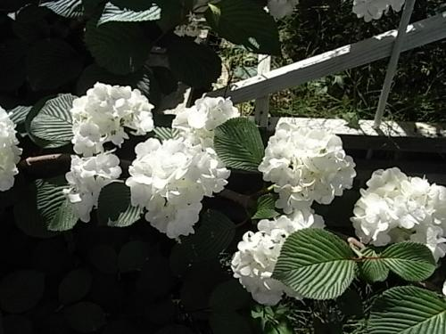 Labulls白いお花