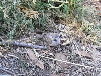 スズメの赤ちゃん