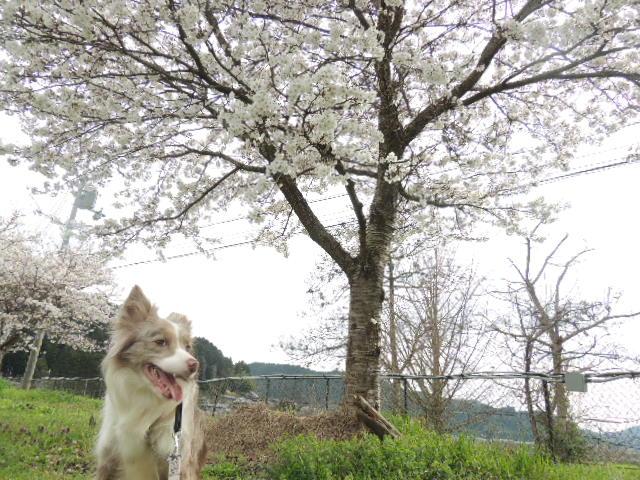 4月3日Sasha・桜 014