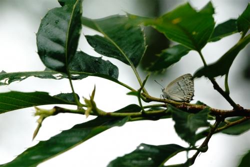ウラジロミドリシジミ♂