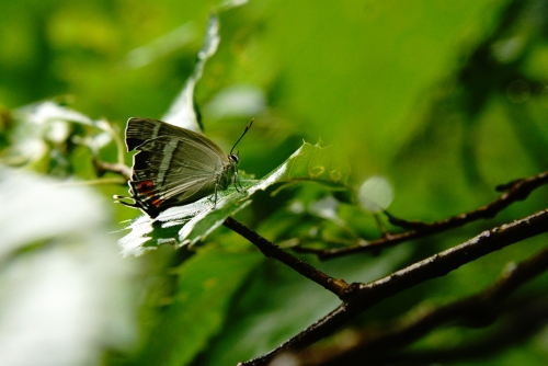 ヒロオビミドリシジミ♀1