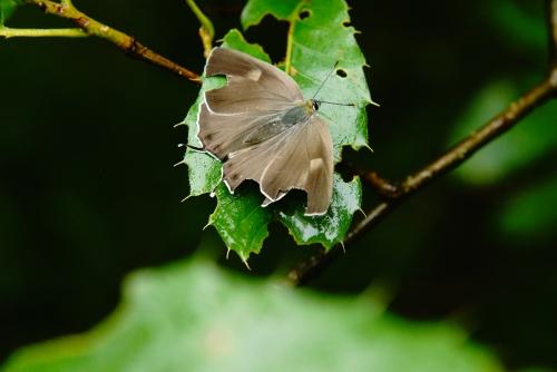 ヒロオビミドリシジミ♀2