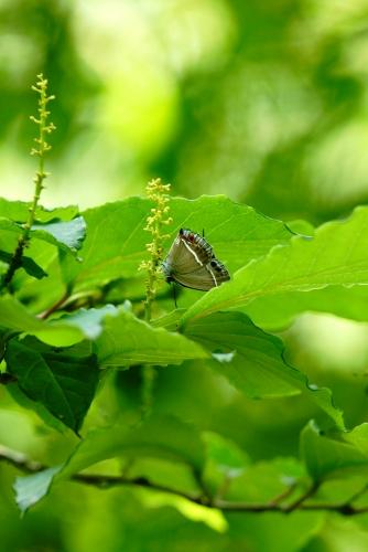 ヒサマツミドリシジミ♀3
