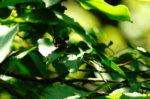 ヒサマツミドリシジミ♀1