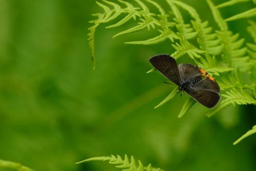 キマダラルリツバメ♀2