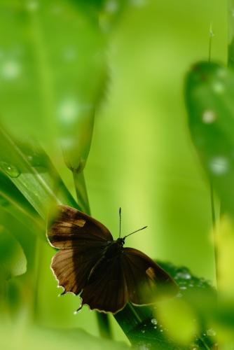 ジョウザンミドリシジミ♀1